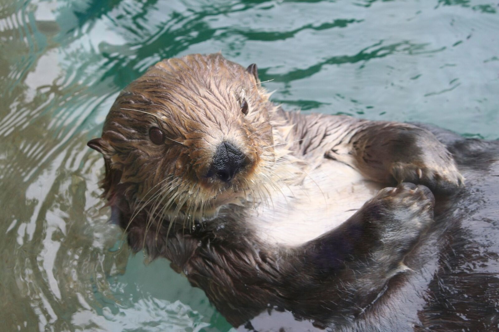 A sea otter reclines.