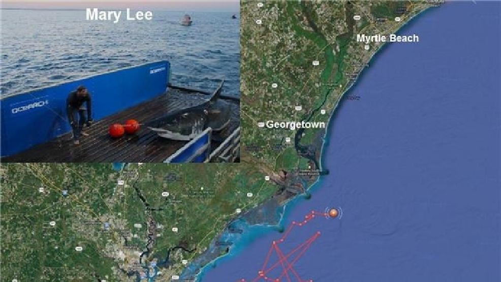 Great White Shark Pinged Off Pawleys Island Coast