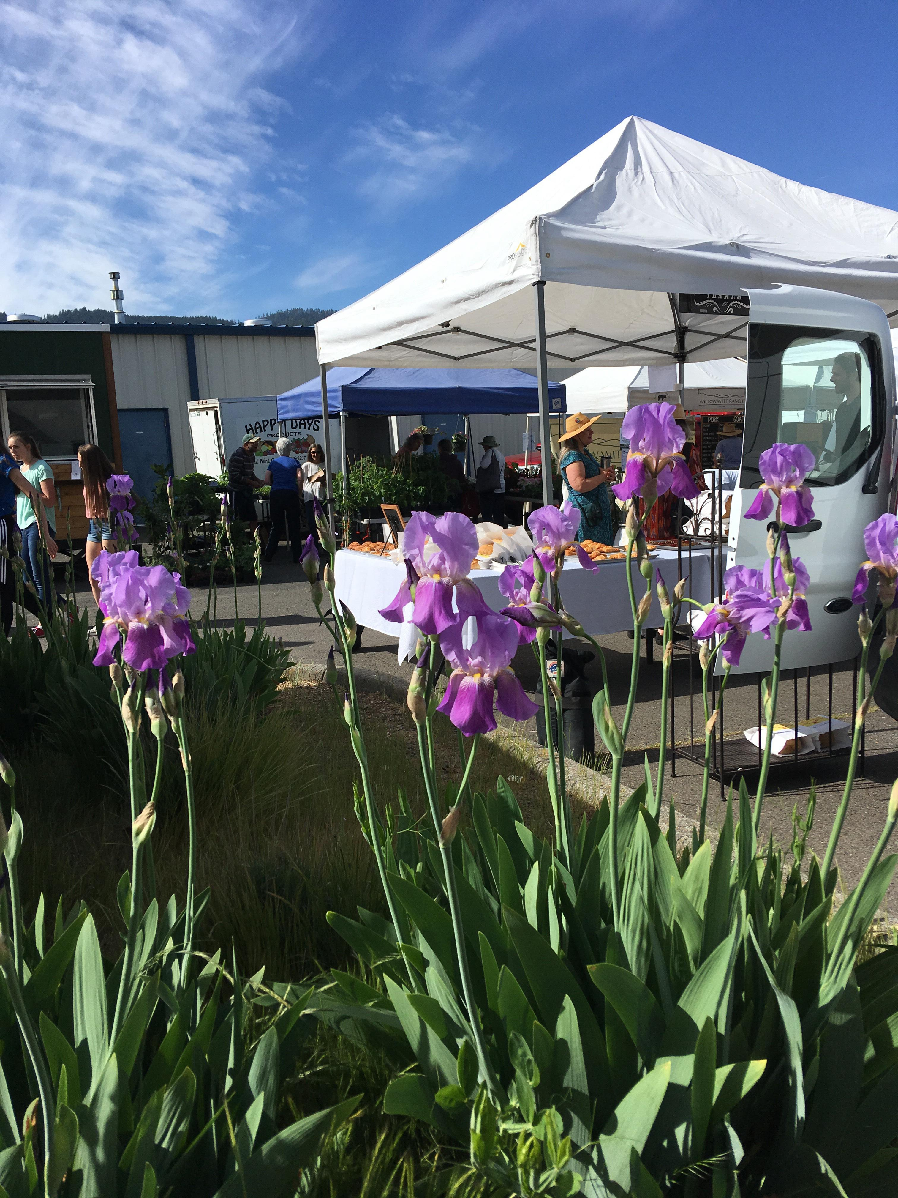 Karen Hiller took this photo of iris growing at growers market site at the Ashland Armory.