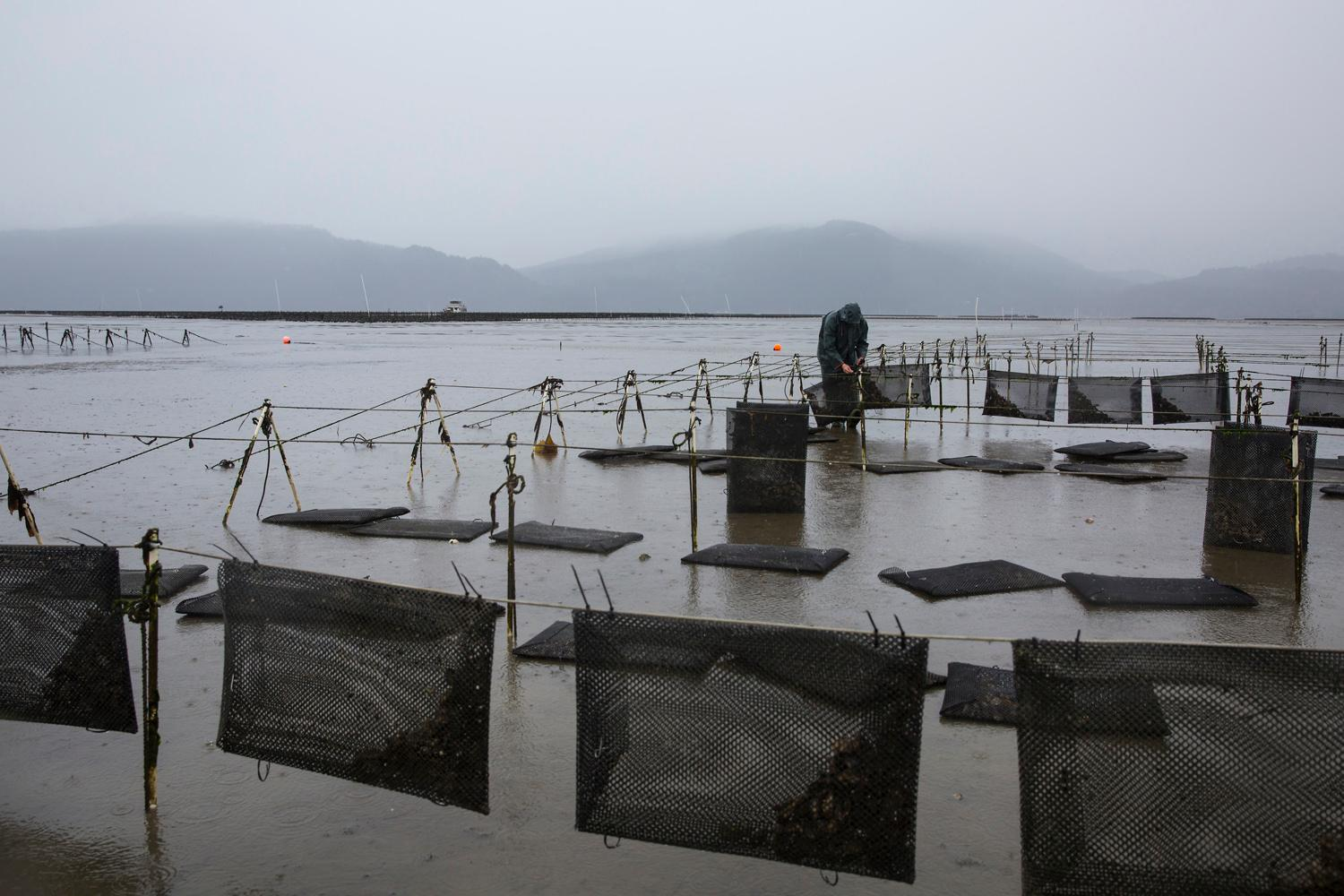 An employee works on securing oyster flip bags, a technique used to grow oysters that keep them safe and encourages growth by agitating the oysters as the tides change. (Sy Bean / Seattle Refined)