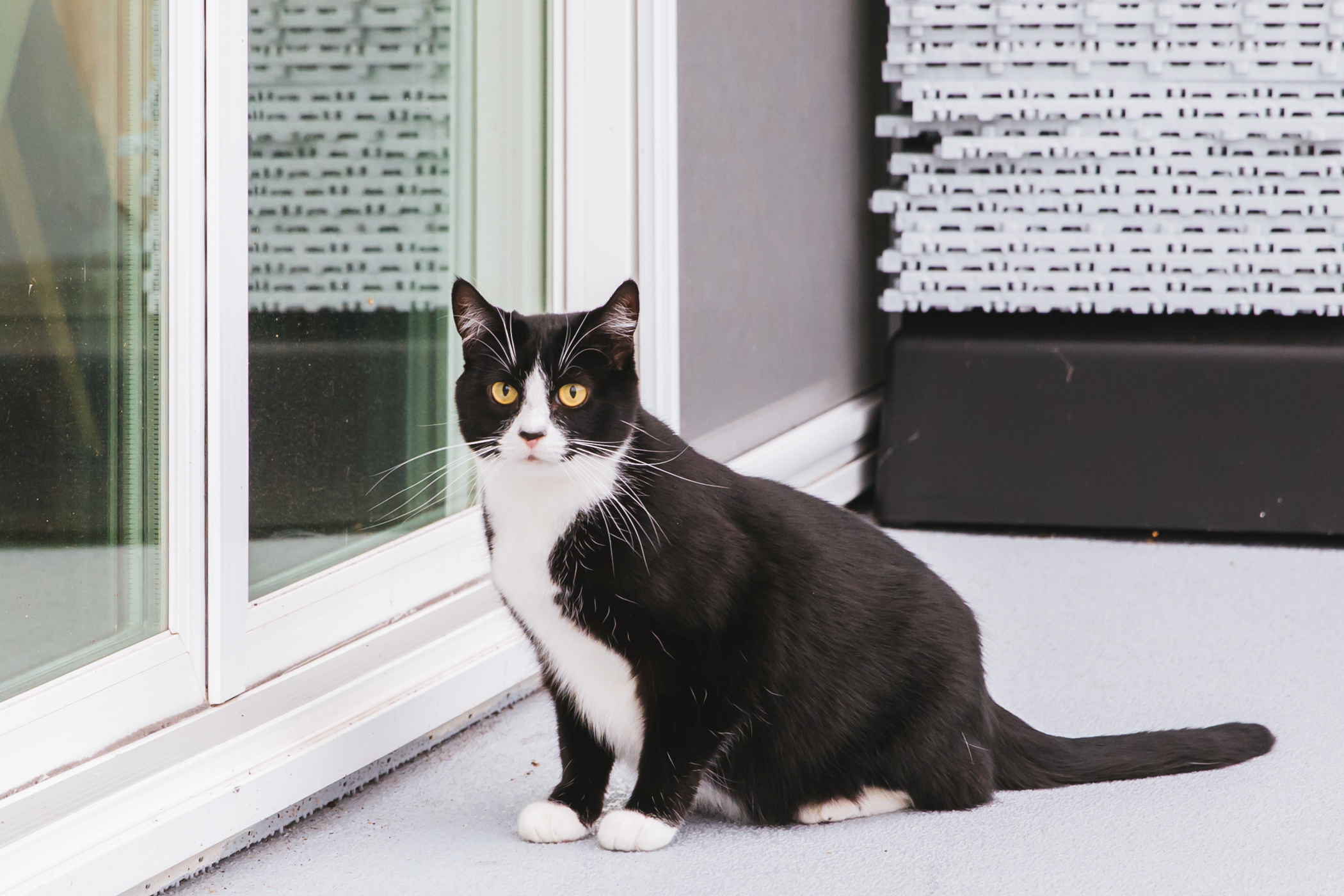 "Miss Dottie is a 6-year-old black and white tuxedo rescue, who loves to play fetch, get brushed and attention but ONLY on her terms. She hates being left alone, and having her meals served late..{&nbsp;}<a  href=""http://seattlerefined.com/ruffined"" target=""_blank"" title=""http://seattlerefined.com/ruffined"">The RUFFined Spotlight</a>{&nbsp;}is a weekly profile of local pets living and loving life in the PNW. If you or someone you know has a pet you'd like featured, email us at{&nbsp;}<a  href=""mailto:hello@seattlerefined.com"" target=""_blank"" title=""mailto:hello@seattlerefined.com"">hello@seattlerefined.com</a>, and your furbaby could be the next spotlighted! (Image: Sunita Martini / Seattle Refined)"