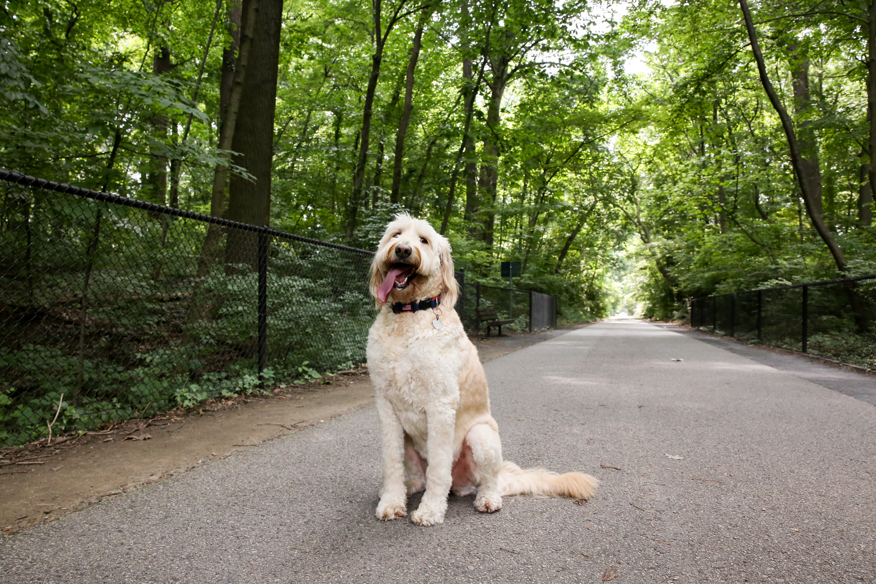 "Meet Liberty, a six-year-old Goldendoodle with more stamps in her passport than I have! Liberty's family lived abroad until January and she traveled with them to a few places around Europe. She was particularly fond of the Colosseum in Rome. While living in Tirana, Albania she ""starred"" in an Albanian pop star's music video! Now,{ } Liberty has traded in the celeb life for the suburbs and is enjoying exploring Bethesda, and getting to know her new best friend, her 15-month-old human brother. Liberty hates cars,{ } loves carbs, and her best skills are cuddling and playing ball. If you or someone you know has a pet you'd like featured, email us at dcrefined@gmail.com or tag #DCRUFFined and your furbaby could be the next spotlighted! (Image: Amanda Andrade-Rhoades/ DC Refined)"