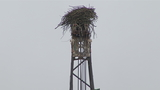 Osprey builds nest on top of crane