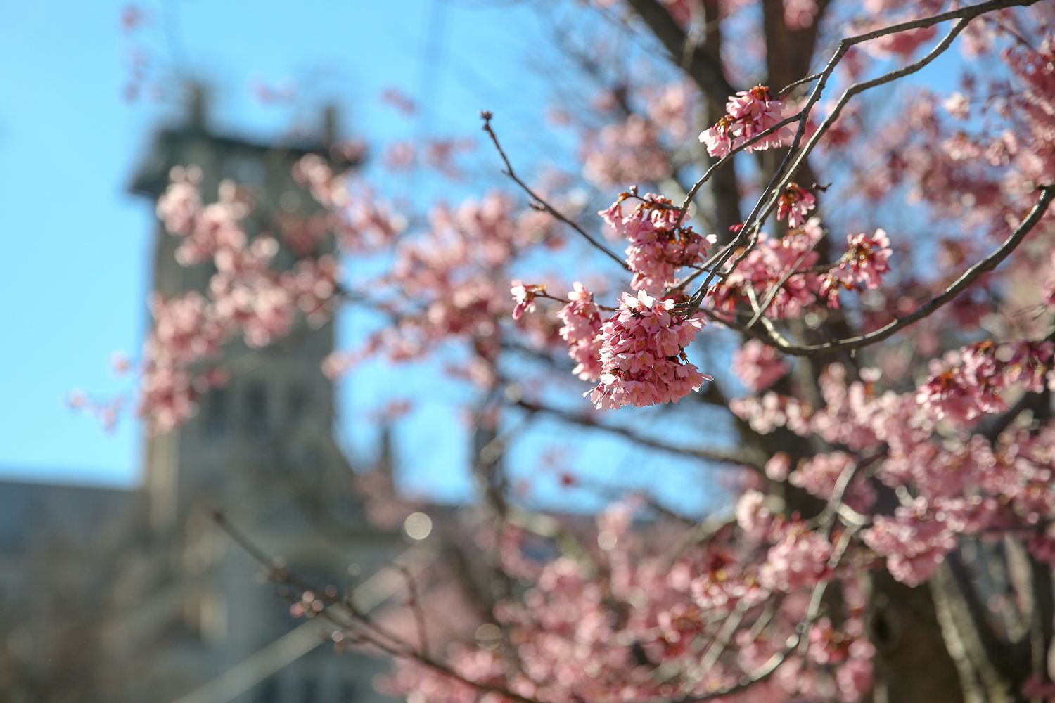 National Cathedral has the beginnings of cherry blossoms, but northwest is filled with budding trees.  (Amanda Andrade-Rhoades/DC Refined)