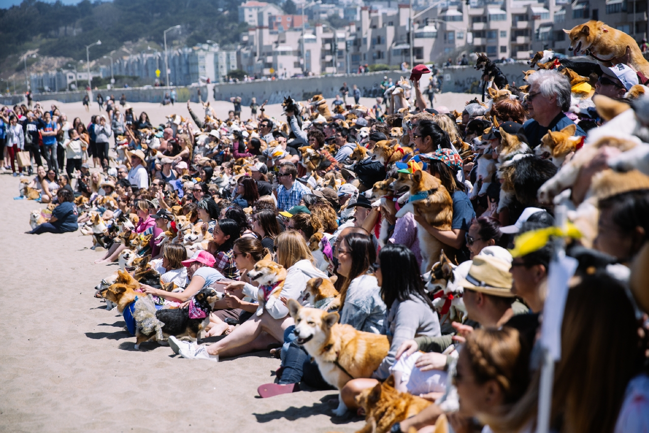 More than 600 corgis came to Ocean Beach in San Francisco for the 2016 Summer edition of Corgi Con. Corgi Con is a meet-up that features hundreds of corgi's, corgi merchandise, a costume contest, a corgi race, raffles and more with donations being made to Queen's Best Stumpy Dog Rescue and Corgi Aid. Hundreds more people come to celebrate everything corgi even if they don't have their own. June 25th 2016. (Image: Joshua Lewis / Seattle Refined)