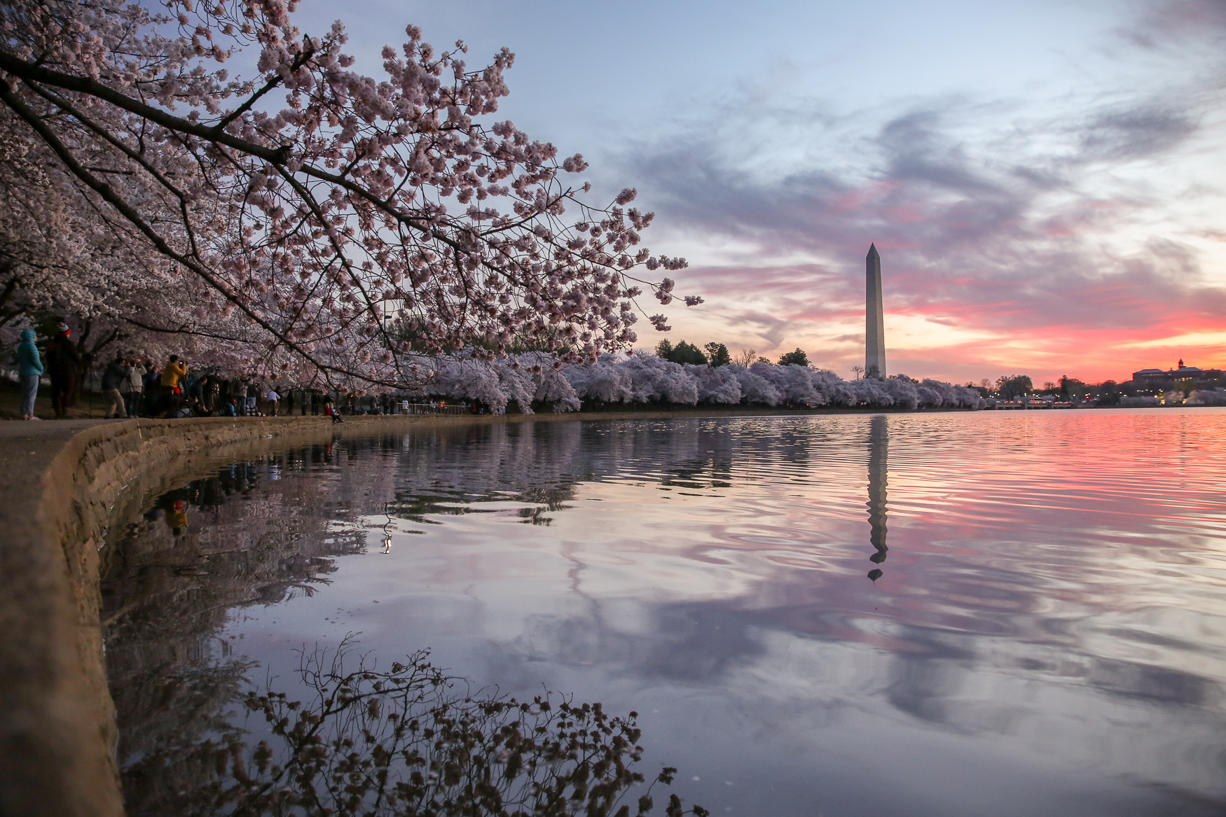 Peak bloom 2019. (Amanda Andrade-Rhoades/DC Refined)