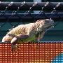 Iguana disrupts Miami Open match