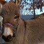 Miniature donkeys the latest trend in exotic pets