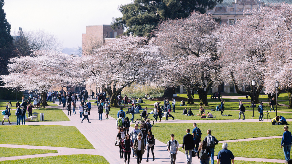 uw cherry blossoms expected to be in full bloom next week komo